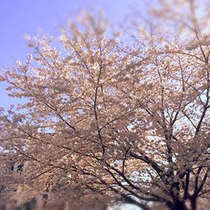 家の前の大きな桜の木